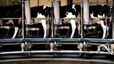 nødslagtning kvæg